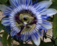 Portrait de Passiflora