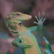 lizardking's picture