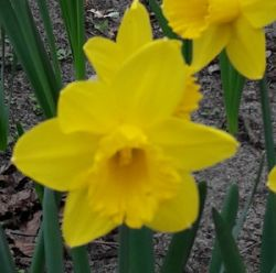 Yellow Narcissus's picture