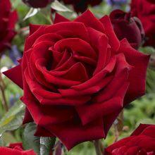 Roses Vol. 2